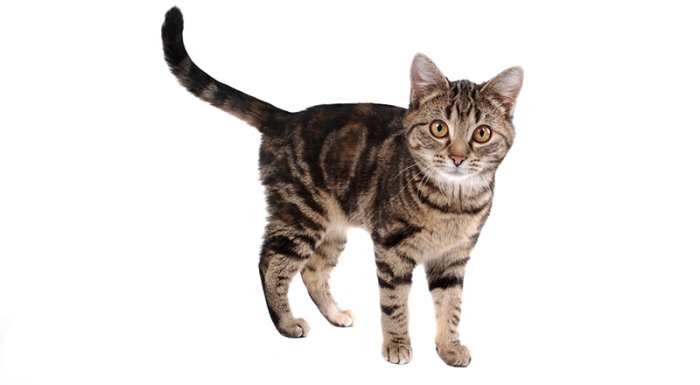 Tabby Cat Names 700 Computer Vision Ios Object Recognition Sri Malireddi